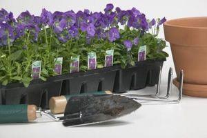 Comment Propager une usine de Purple Passion
