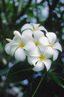 A propos de la Fleur de Plumeria