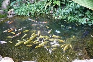 Comment Stock Pond Fish