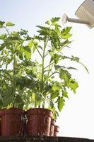 Les vapeurs de chlore sera nuire aux plantes de tomate?