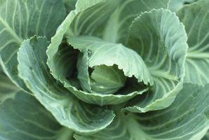 Comment Big d'un Pot Do I Need Cabbage usine?