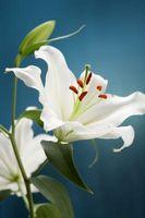 Quelle est la première étape dans la reproduction d'une plante à fleurs?