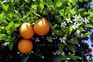 Pourquoi mon Orange Tree Pas de floraison?