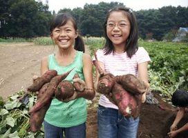 La saison de plantation des pommes de terre