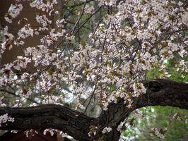 Floraison Cherry Tree problèmes