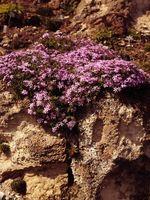 Combien de temps dure Moss Phlox Bloom?