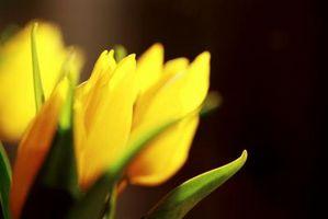 Quand Retirer printemps bulbes de tulipes et leurs tiges?