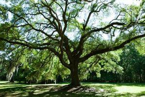 Pouvez-vous faire votre voisin Coupez un arbre se il pèse sur sur votre propriété par la loi en Californie?