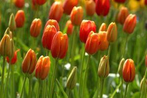 Comment cultiver des tulipes à partir de graines contre Ampoules