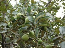Quand Fertiliser arbres fruitiers en Arizona?