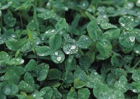 Fleur Signification pour le Celtic
