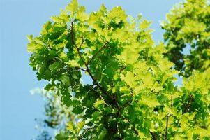 Comment identifier les arbres à feuilles caduques