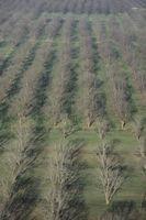 Les arbres de noix de pécan en Alabama