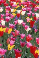 Qu'est-ce que je fais avec Tulip & jacinthe feuilles?