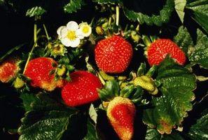 Plants de fraises peuvent être tondu Off avant l'hiver paillage?