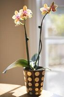 Ce qui rend les feuilles d'un végétales Orchid brunissent et sec?