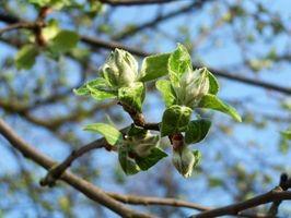 Arbres en fleurs d'Apple fin
