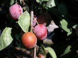 Gratuit Informations sur Comment Fertiliser pruniers