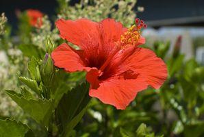 Quand Couper Plantes Retour Hibiscus