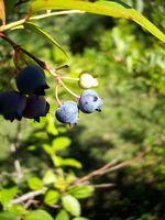 Pouvez-vous prendre une coupure d'une usine de Blueberry et l'utiliser pour pousser une nouvelle usine?