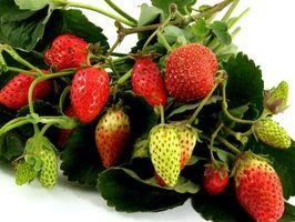Comment planter des fraises au Texas