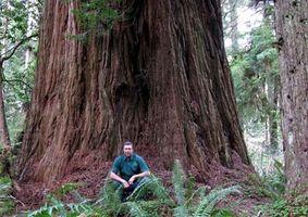 Comment planter et cultiver un plant de Redwood