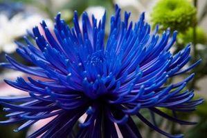 comment teindre fleurs artificielles royal blue - billbloom