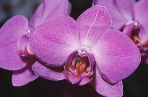 Quelles sont les causes de Bud souffle sur le Phalaenopsis?