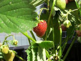 Conseils sur la croissance de plants de fraises