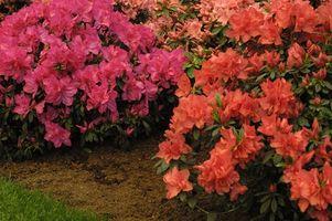Printemps alimentation pour les azalées et rhododendrons