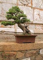Combien de fois faut Arrosez un bonsaï?