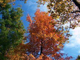 Maladies de nœud de Maple Trees
