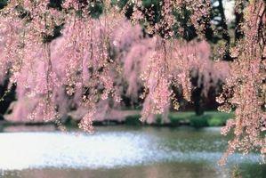 Devrais-je paillis autour Mon Weeping Cherry Tree?