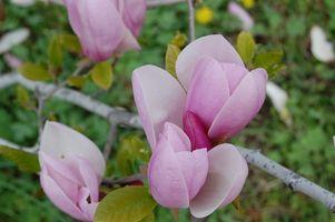 Qu'est-ce qu'un Blooming Arbre Tulip?