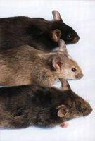 Comment se débarrasser des souris en utilisant Boules à mites