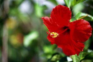 Mon Arbre Hibiscus est pas de floraison