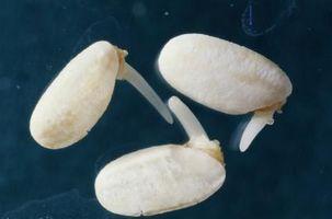 pousses de soja Comparativement aux germes d'ambérique
