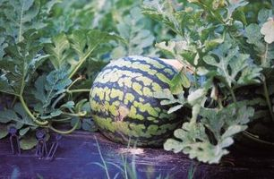 Ne Watermelon Vines doivent être taillés Retour à mesure qu'ils grandissent?