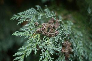 Types d'Evergreen et italiens cyprès