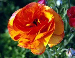 Comment planter un Ranunculus Bloom