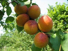 Comment Fertiliser Apricot Trees