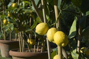 Comment prendre soin d'un Lemon Tree dans l'Oregon
