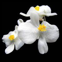 Plantes toxiques Begonia