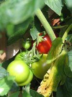 insectifuge pour les plantes potagères