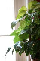 Plantes d'intérieur les plus robustes