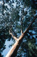 Eucalyptus traitement Fungus