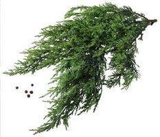 Plantation Instructions pour Red Cedar Est semis d'arbres