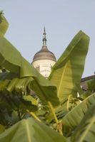 Bananiers peuvent pousser sur le côté ouest d'une maison?