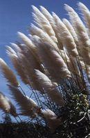 Larges feuilles Graminées