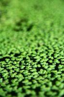Comment cultiver la culture hydroponique sans produits chimiques